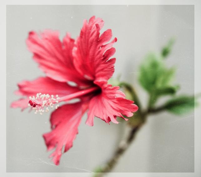 Hibiscus chocolate