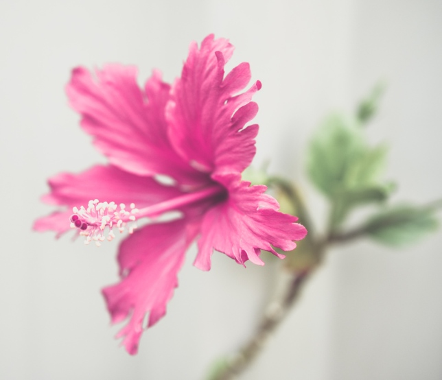 Hibiscus gentle