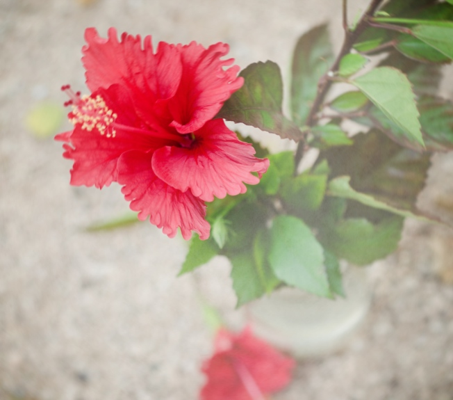 Hibiscus today